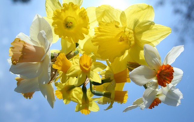 Easter 2015: beautiful daffodils signify Easter.