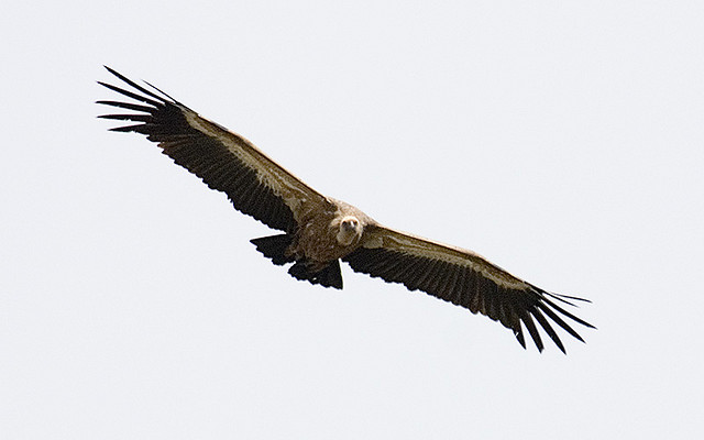 Griffon Vulture by Sergey Yellseev, Flickr