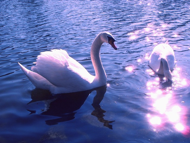 Swans and Sunlight Image from Pixabay under License CC0 Public Domain FAQ
