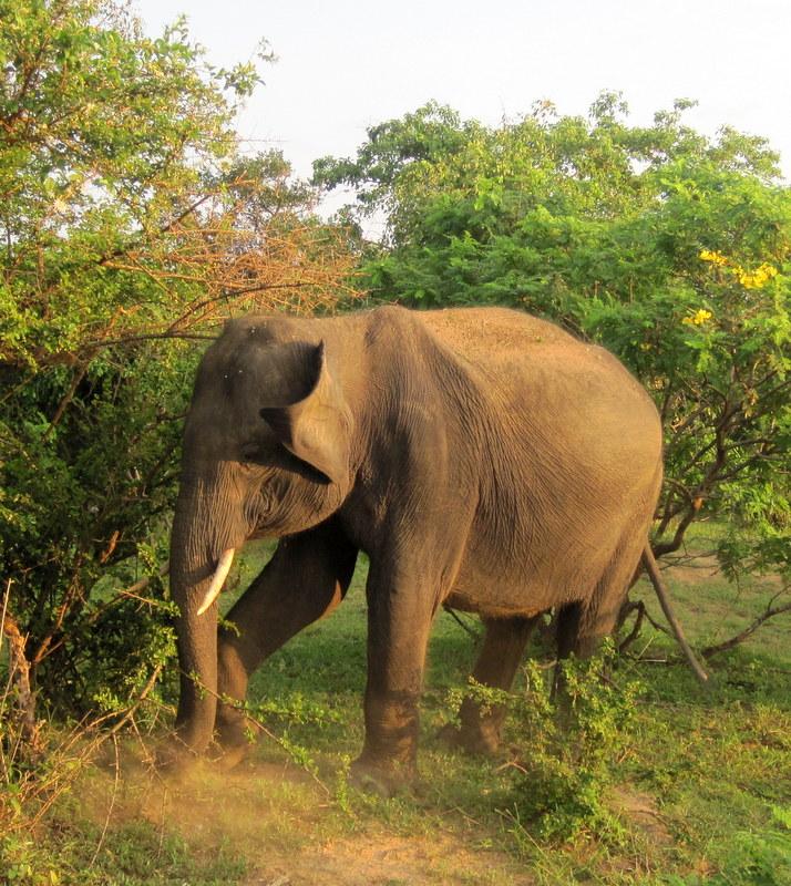 Elephant seen in the wild in Sri Lanka.