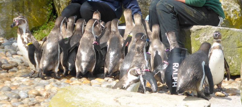 Feeding time for the Penguins. These are Humboldt's Penguin. The one with a jacket, Ralph, has lost his feathers.