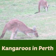PicMonkey 13 Kangaroos in Perth 2