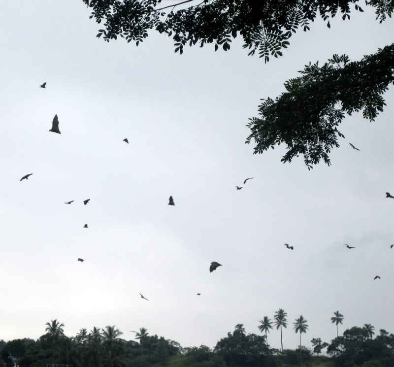 Fruit bats fling around. They are large, up to 50 cm wingspan.