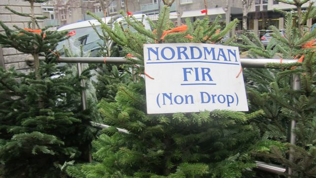 Nordman Fir non drop Christmas trees.