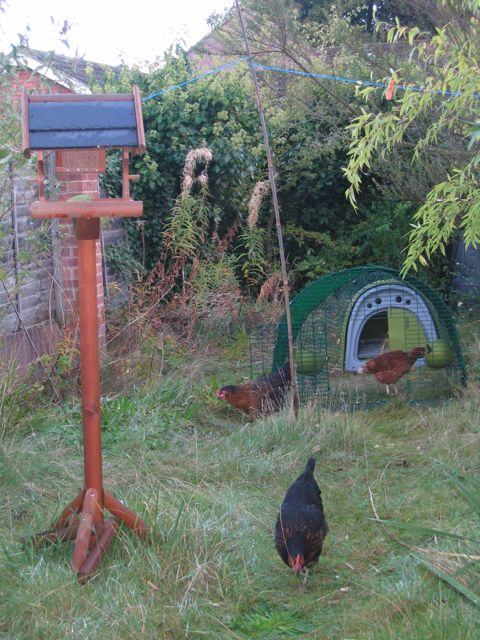 We used to keep 3 hens. At the beginning, the grass looked healthy.