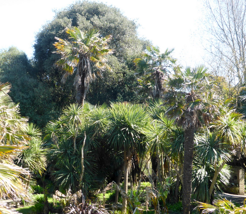 Chusan Palms, the Chinese windmill tree