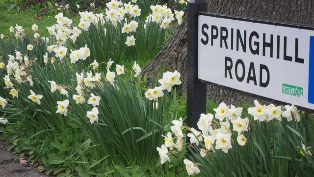 lovely daffodils Springhill Road in Chandler's Ford, Eastleigh.