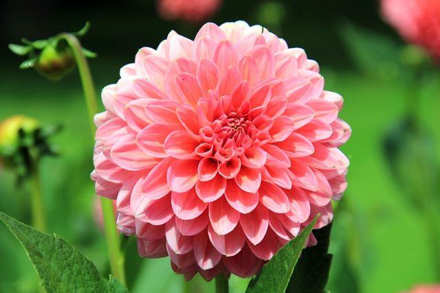 Dahlia plant; pink blossom; image by AnnaER via Pixabay.