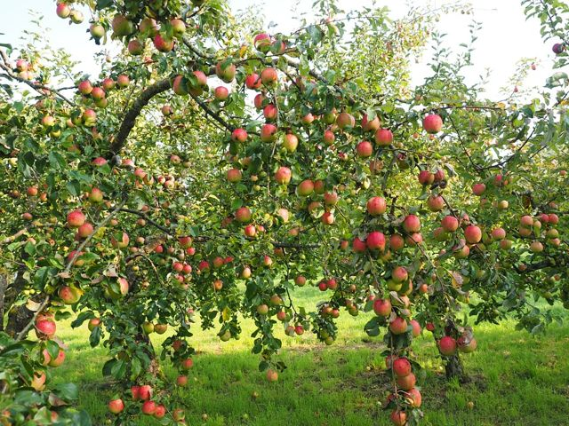 apple tree by Hans via Pixabay. Lots of apples on a tree on a beautiful lawn.