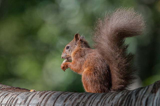 "Brownsea Island: red squirrel. Image by <a href=""https://www.flickr.com/photos/davestroud71/21422316353/in/photolist-yD1YiX-zxAn6q-8GWWqG-zAMie2-zyP7wQ-9NnSRL-9No5Qh-zih4Nd-9Nk8tF-8QYTDX-8QYTua-8QYTHz-8R2Z6J-9No3db-5b3Hw4-zihauJ-zioL3Z-yCScDJ-9Nkdv6-nW5q87-yD2dcD-zyPmVQ-9NnXXd-7ULwew-yD1UvM-3Qy8Pt-9No7km-ppDmCQ-9No8JE-9No1RN-9Nk9Hg-9NnWJ9-6JyX3U-apr6bv-8QYTjz-8R2ZhL-8R2Yyy-8R2ZMm-8QYSXH-8R2YTu-pTdhEq-GLFEmx-9Nko94-GmbKty-ofQEqY-apr6qT-9NjY3e-q6WSD5-8DR6Aa-nW6yf6"">Dave Stroud</a> via Flickr."