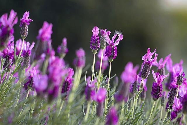 lavendar by Wow Pho Pixabay