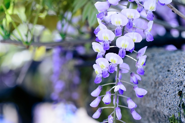 spring wisteria by Shell Ghostcage via Pixabay