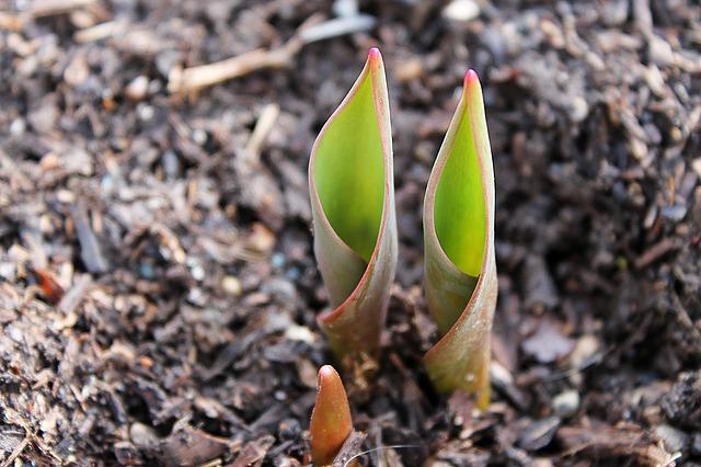 tulip bulbs pixabay CJ image