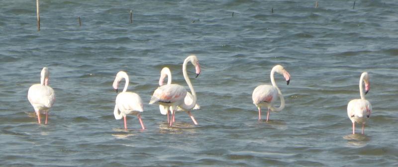 Jaffna flamingo