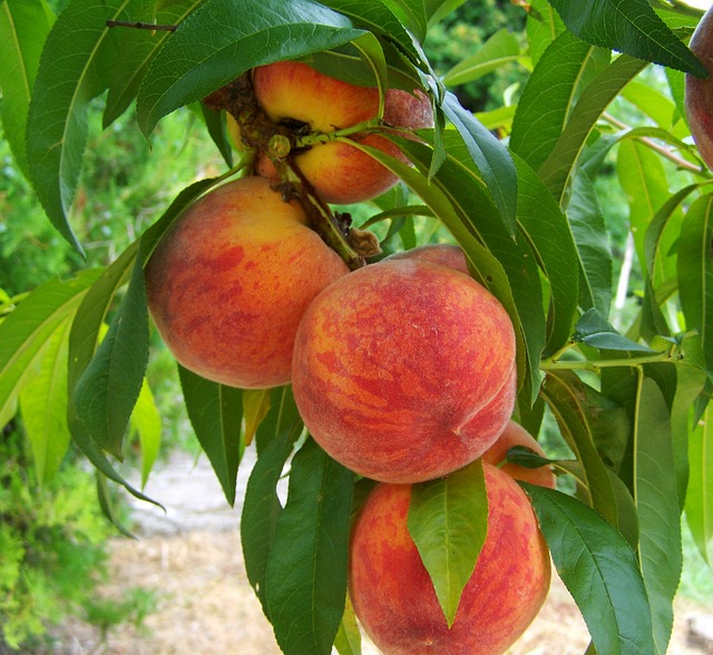 peaches image by tppancs via pixabay.