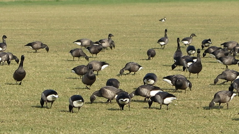 Brent Geese at Keyhaven - no longer rare and extremely shy.
