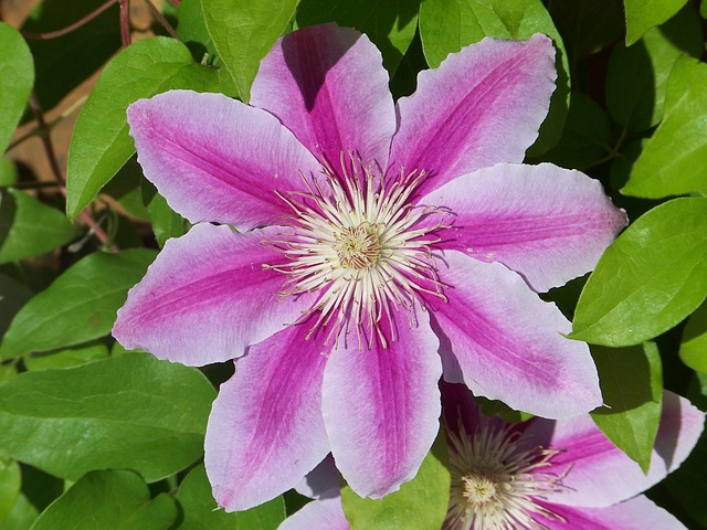 Clematis image by Barmy via Pixabay
