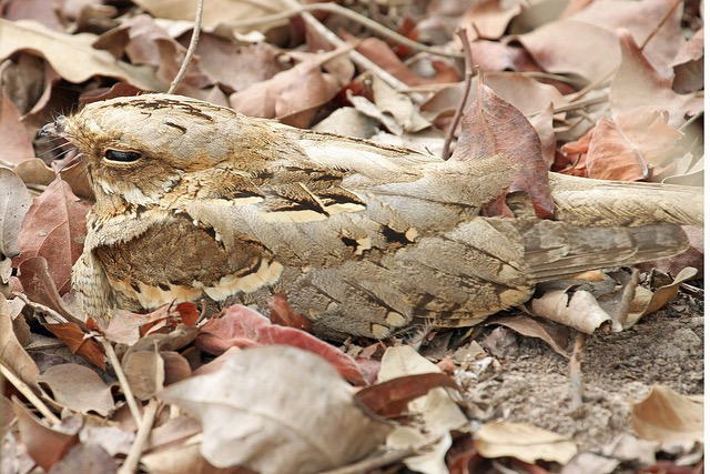 "Nightjar - a summer visitor, well camouflaged on the ground. Image by <a href=""https://www.flickr.com/photos/giselaglb/8889525259/in/photolist-exx99T-dDEUMZ-nYnFQ7-8cyy3D-exFySm-exFyys-aCrF17-HarhQV-4ho6Mn-cjFrFU-fJPnHW-9D61AY-dtb6Qa-9D3Fez-PvUan-dJVEUs-nk9pPC-dJQcyT-dJQihR-dJVJhm-dJQtTz-dJQeYk-dJQbPT-d44gwA-dJVPyf-dJVDVW-dJQsU4-dJVLG9-dJVGNm-dJVXt3-4uszqk-add77A-dJVMVb-adahNH-s9rXcW-buu8m6-dJVUeo-dJVQPj-fJwQBp-butXSM-d44yYb-d44RhQ-nhMcxr-eDsD5i-hHvQUp-eDyvy7-68qkAQ-HC1id4-6RaaDa-8dRkDF"">gisera braun</a> via FLickr."