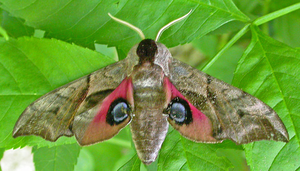 "Eyed Hawk-moth - appears particularly frightening to potential predators if viewed from its front. Image by <a href=""https://www.flickr.com/photos/tonymorris/424001820/in/photolist-Dt7Yd-akZp8L-Dt7aq-czuqjS-czyokb-MJtTX3-9ZTKcQ-akYoHx-akWrhe-czLpbS-a1JtUg-czuoxN-crDKMh-am2EPw-otYW1r-nKkYqt-akYNaZ-nWbXnN-czuraY-akWoXk-akYKfg-fj37iB-nH9BUX-am2AF1-akZpPQ-a3FZfj-obVvf6-obWDSd-fbZfpg-o4F5QG-czLofm-eLhHog-obWBWj-nUAGYo-akYmtr-nUszwK-fbZiKr-fbZnmB-fj3aGB-akZbPC-fbZokv-am28K1-f6Paan-am2AZb-akWDmt-crDQZJ-akYjJr-om3hkm-a7X3Cw-am2Bws"">Tony Morris</a> via Flickr."
