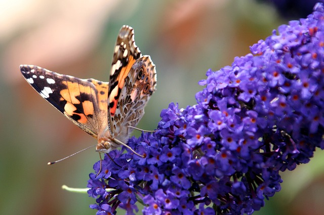 butterfly and Buddeia image by rycky via Pixabay