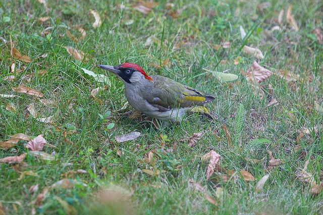 Green Woodpecker. Maxmann image via Pixabay