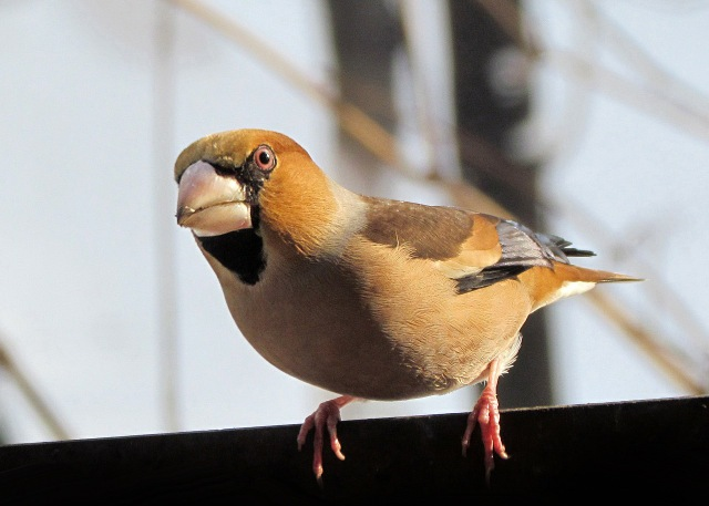 "Hawfinch - It's scientific name, Coccothroustes, means ""kernel-crusher"" - well-named, as it loves to crack cherry stones."