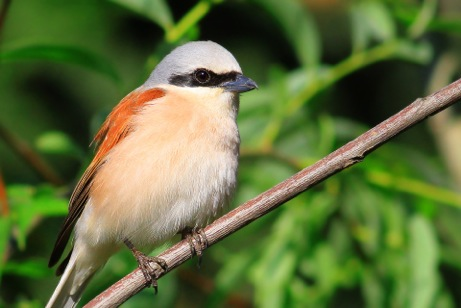 Red-backed Shrike, nowadays mostly encountered as an east coast migrant.