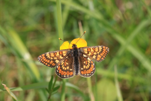 Marsh Fritillary - this one feeds on Devilsbit Scabious.