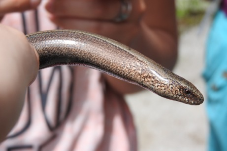 Caption: Slow-worm - don't grab one by the tail - it will come off!