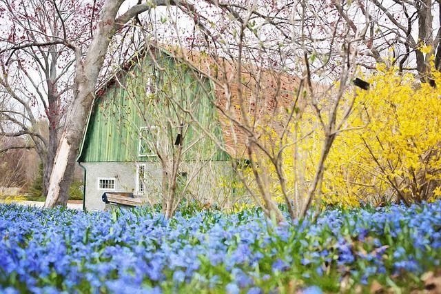 Forsythia and barn image by Jill111 via Pixabay