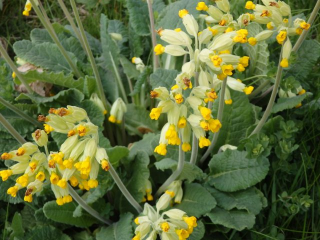 Cowslips at Fleming Park