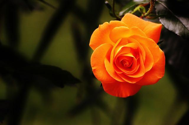 Roses by Alexas_Fotos via Pixabay.