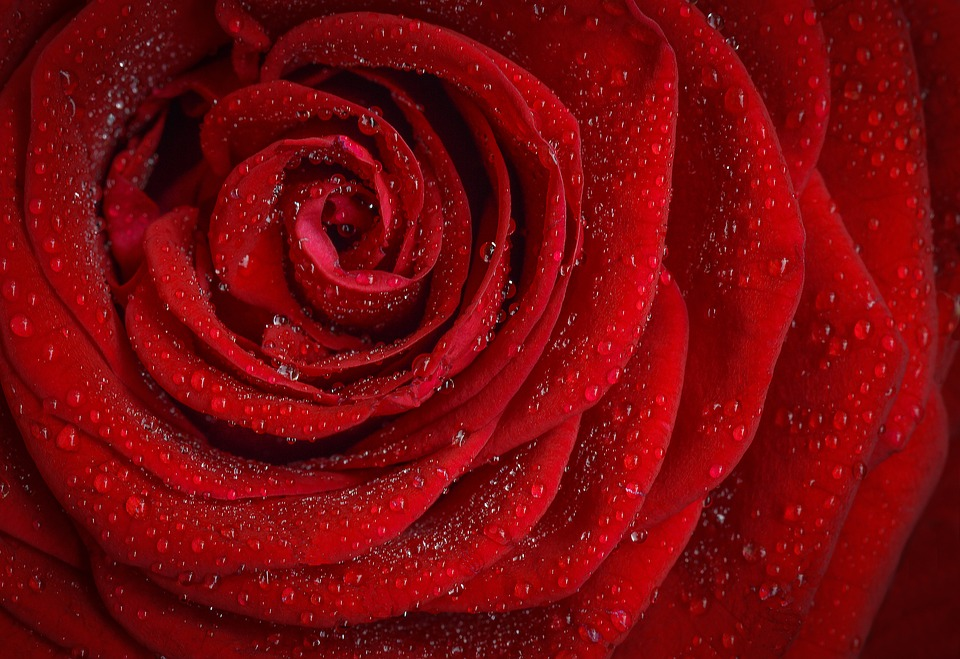 Hampshire supported the red rose, Lancastrian, cause - image via Pixabay