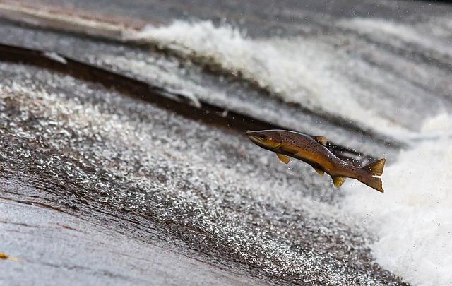 Salmon Leap - image via Pixabay