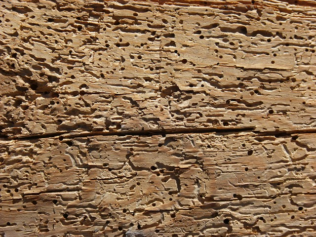 Woodworm at work - image via Pixabay