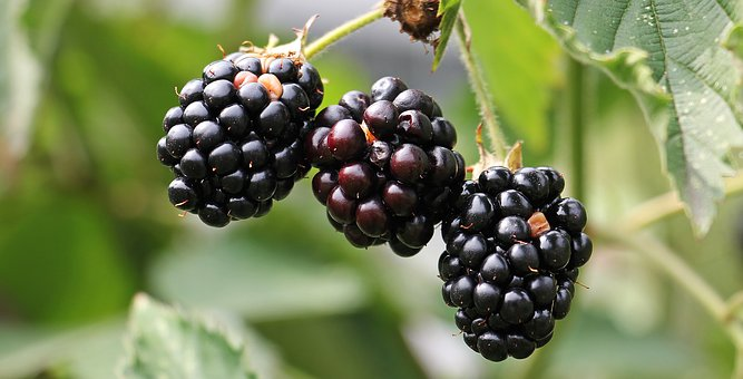 Love blackberries, hate brambles - image via Pixabay