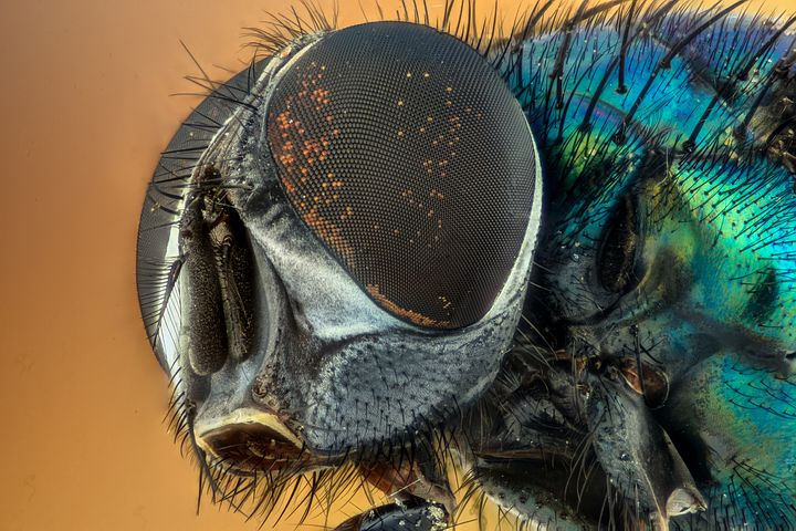 A fly. I admit the eye of a fly is amazing but they're not the most hygenic creature on the planet. Image via Pixabay