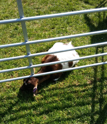 Living proof life is greener on the other side - goat at Millers Ark
