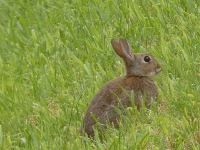 Rabbit at Fort Nelson