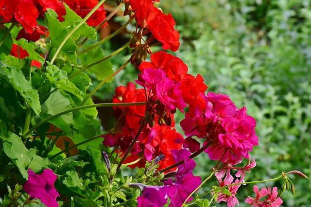 geranium by RitaE