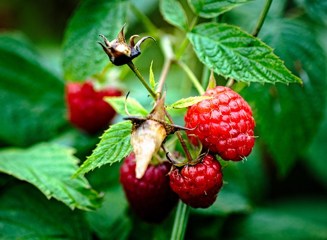 raspberries by JerzyGorecki via Pixabay