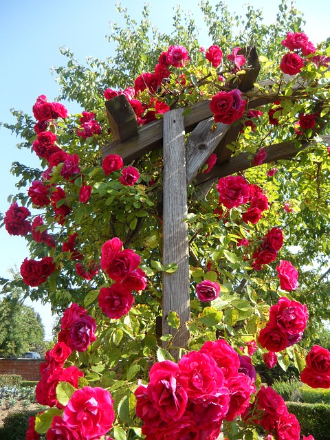 Roses image by Efraimstochter via Pixabay