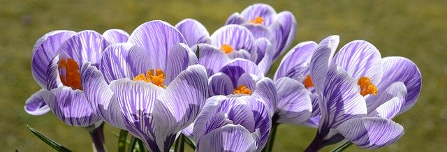 It won't be that long before we see crocuses again - Pixabay