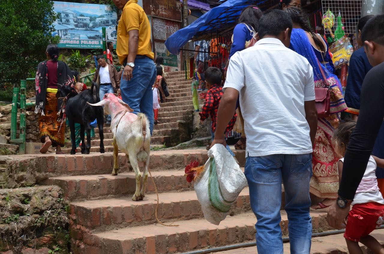 Return fare for goats