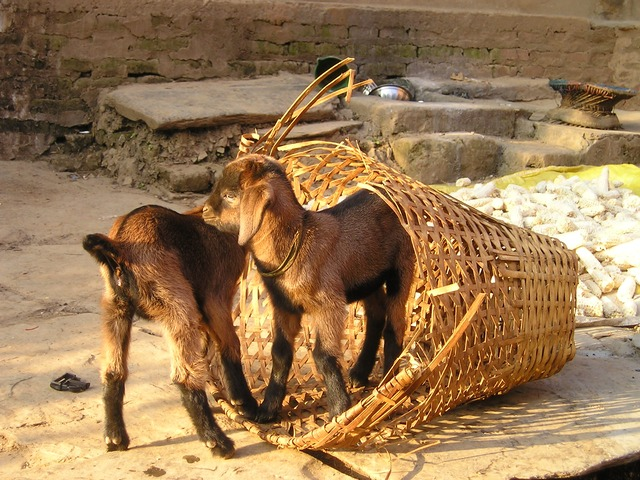 Nepal goats - image by Simon via Pixabay