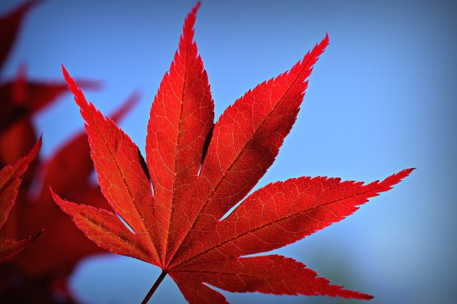Japanese maple by MabelAmber via Pixabay.jpg