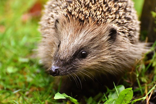 hedgehog-child-Alexas_Fotos Pixabay