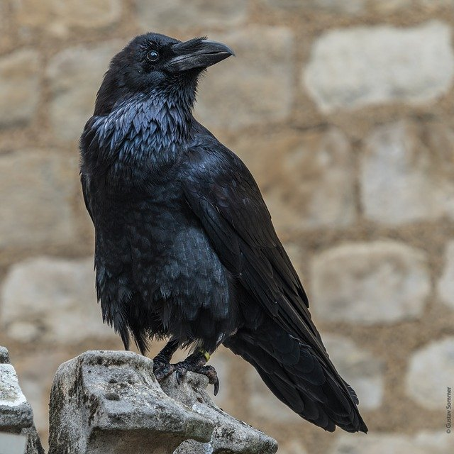One of the inhabitants of the Tower of London - the raven. Pixabay
