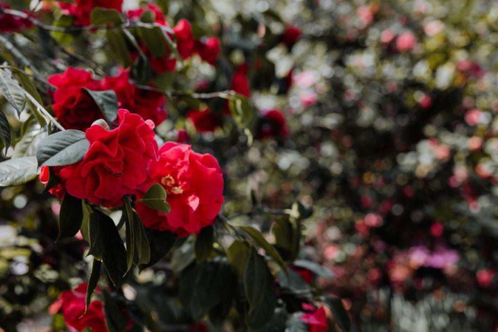 Roses image by Karolina Grabowska