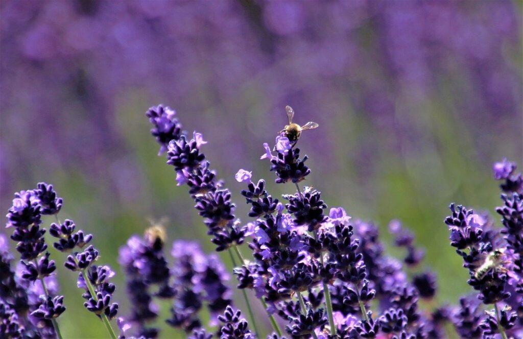 lavender image from Pixabay